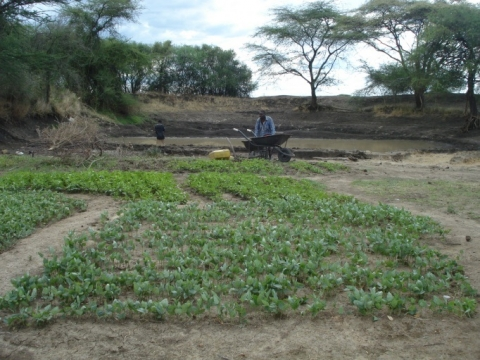 Water from pond is used for irrigating vegetables during dry season